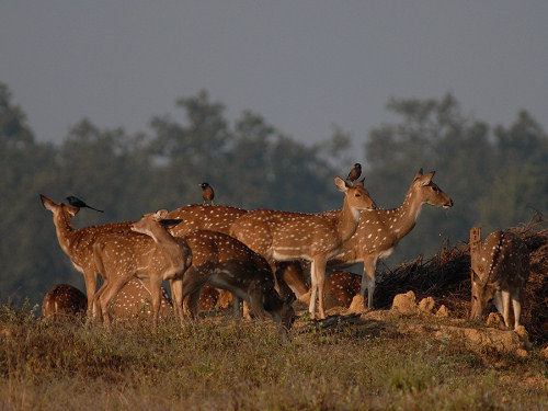 Spotted Deer, Axis axis