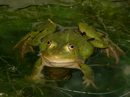Pool Frog, Rana lessonae