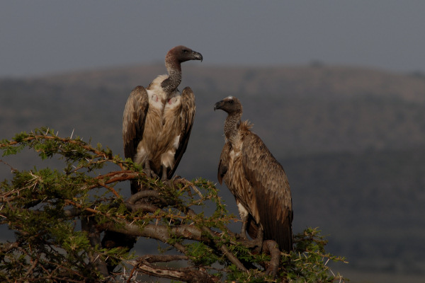 Whitebacked Vulture, Gyps africanus