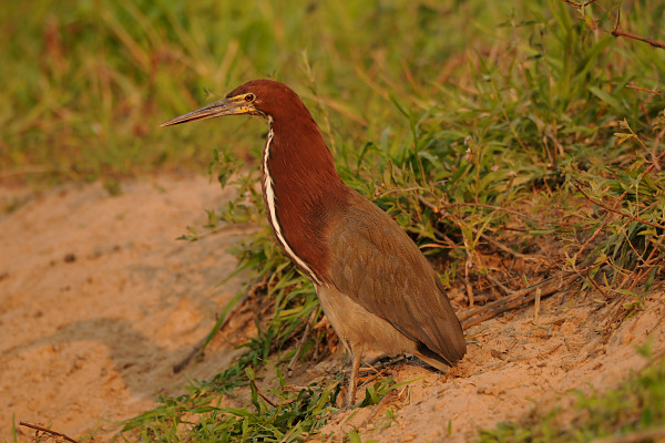 Rufecent Tiger Heron