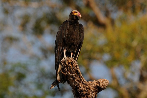 Lesser Yellow-headed Vulture Cathartes burrovianus
