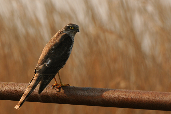 Eurasian Sparrow-Hawk