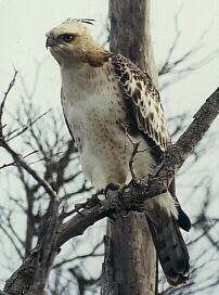 Crested Hawk Eagle, Spizaetus cirrhatus