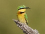 Little Bee-eater, Merops pusillus