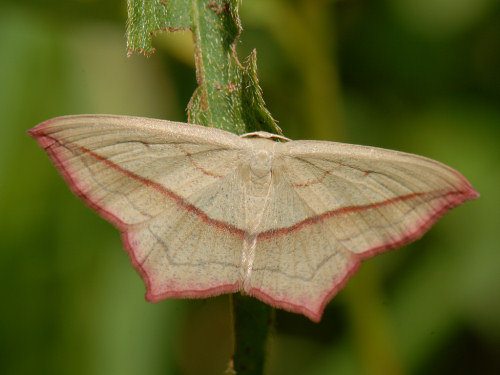 Blood-vein, Timandra comae