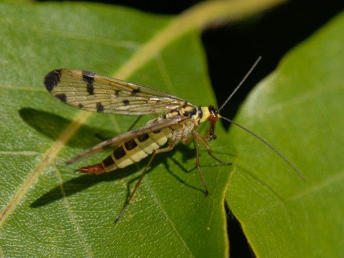 Scorpion Fly, Panorpa communis