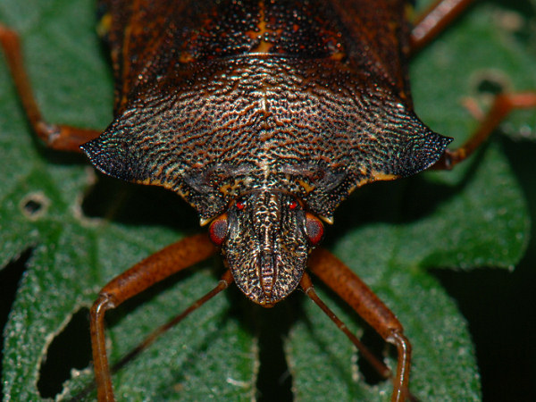 Forest Bug,Pentatoma rufipes