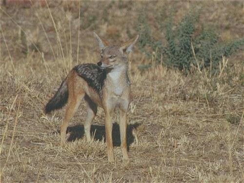 Black backed Jackall, Canis mesomelas