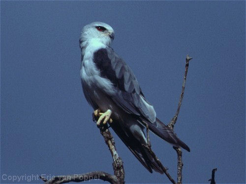 Blackshouldered Kite, Elanus caeruleus