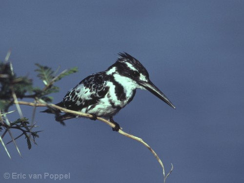Pied King Fisher,Ceryle rudis