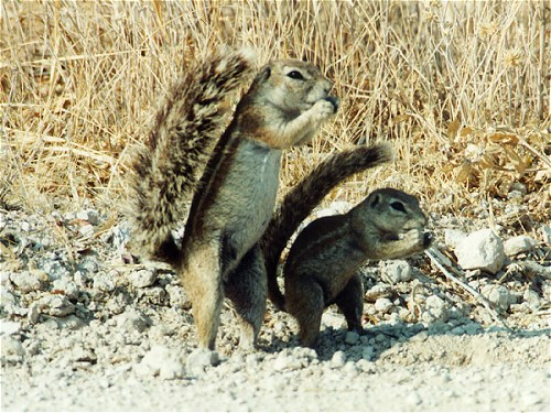 Ground Squirrel, Xerus inauris