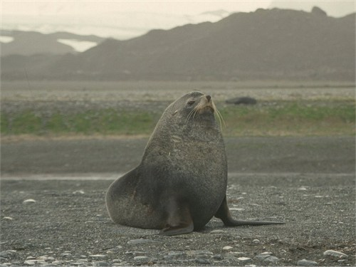 Kerguelen or Antarctic Fur Seal, Arctocephalus gazella