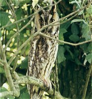 Long Eared Owl , Asio otus